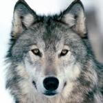 silverwolf45